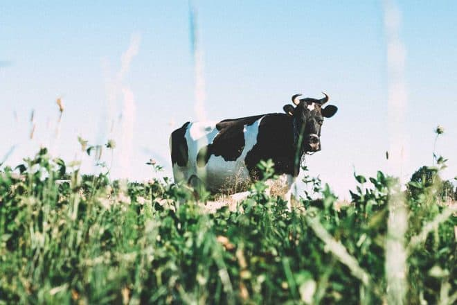 healthy dairy products - cow