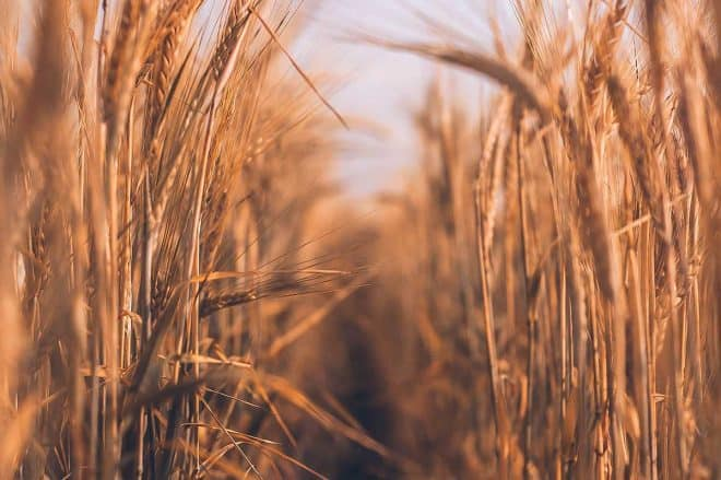 what are healthy grains - image of wheat